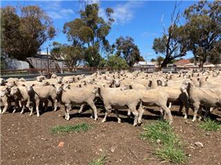 196 Ewes