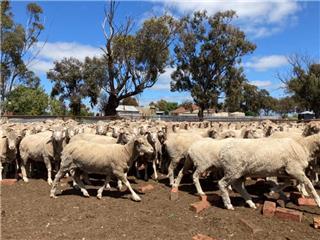 110 Ewes
