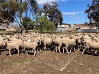 159 Ewes