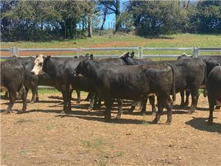 24 PTIC Cows