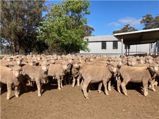173 Wether Lambs