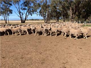 152 Wether Lambs