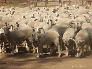 303 Future Breeder Ewe Lambs