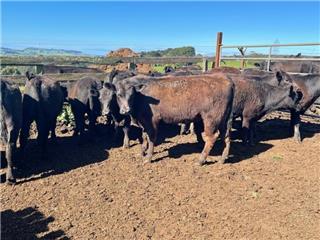 15 Weaned Steers