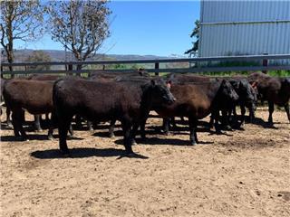 18 Unweaned Steers