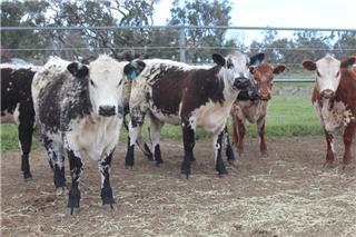 7 Weaned Heifers