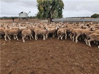 182 Ewes