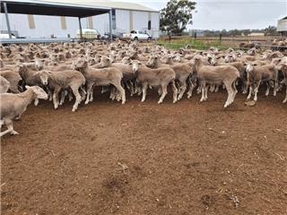 300 Future Breeder Ewe Hoggets