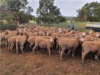 158 Future Breeder Ewe Hoggets