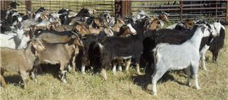 110 Goats - Does