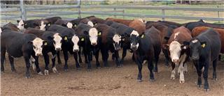 29 Feeder Steers