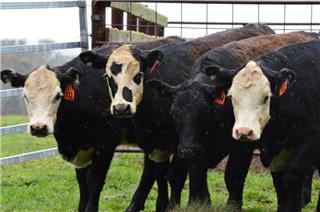 16 Weaned Heifers