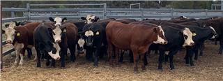 38 Feeder Steers