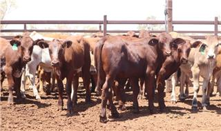 86 Weaned Mixed Sexes