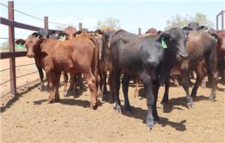 98 Weaned Heifers