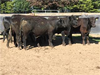 20 Feeder Steers