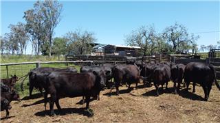 17 NSM Cows & 18 Calves