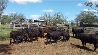 13 NSM Cows & 14 Calves