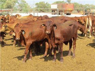 60 Weaned Steers