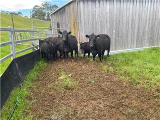 3 Cows & 3 Calves
