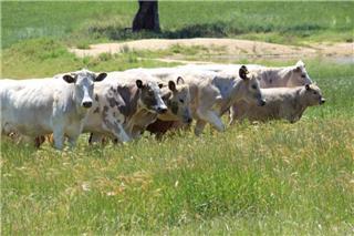 8 Station Mated Heifers & 8 Calves