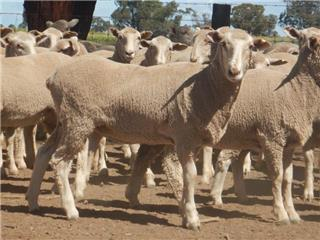250 Future Breeder Ewe Lambs