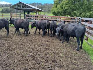 10 Weaned Steers