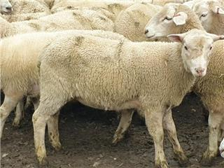 215 Store Wether Lambs