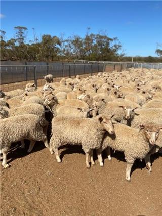 320 Ewe Lambs