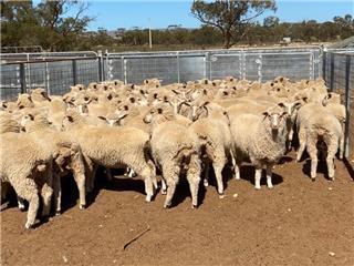 105 Ewe Lambs