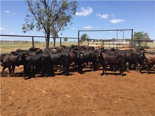 44 Weaned Heifers