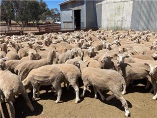 180 Ewe Lambs