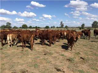 28 Weaned Heifers