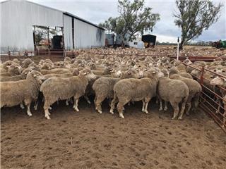 234 Ewes