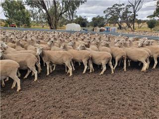 307 Ewes
