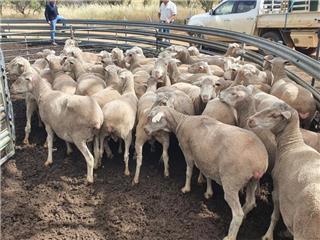 352 Ewes