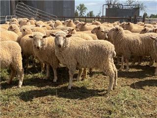 280 Mixed Sex Lambs