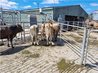 5 NSM Yearling Heifers