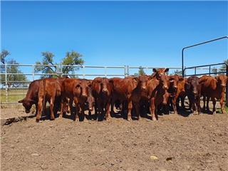 24 Steers