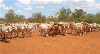 136 Backgrounder Steers