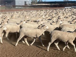 300 Ewe Lambs