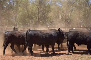 26 Feeder Steers