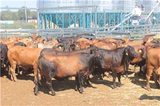 63 NSM Cows & 63 Calves
