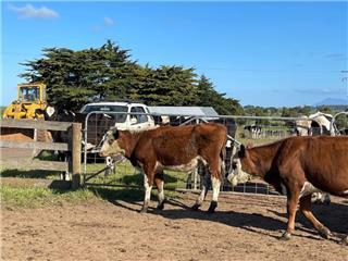 13 Yearling Steers