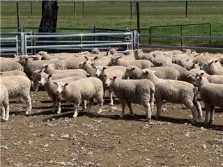 130 Mixed Sex Store Lambs