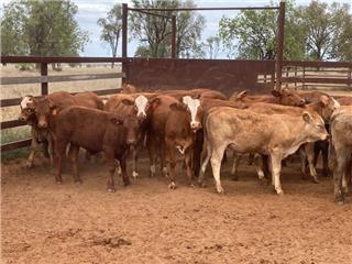 30 Weaned Heifers