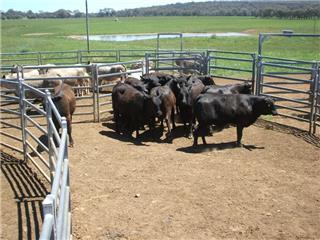 12 NSM Heifers & 12 Calves