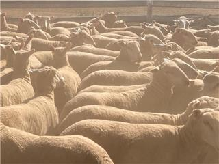 132 NSM Ewes