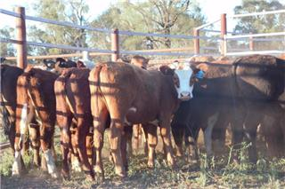 47 Backgrounder Heifers