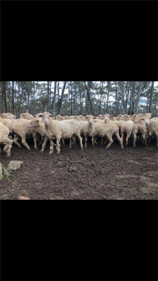 86 Ewes